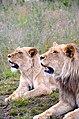 Lion couple, Botlierskop (ZA).jpg