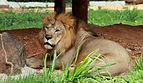 Lion in Mysore zoo 01.jpg