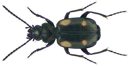 Lionychus quadrillum (Duftschmid, 1812) (3562747427)