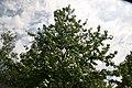 Liquidambar styraciflua Corky 3zz.jpg