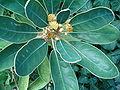 Litsea japonica HabitusFlowers BotGard0906b.JPG