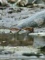 Little Stint (Calidris minuta) (23260310324).jpg