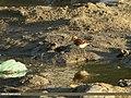Little Stint (Calidris minuta) (23296449611).jpg