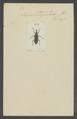 Lixus - Print - Iconographia Zoologica - Special Collections University of Amsterdam - UBAINV0274 029 04 0064.tif