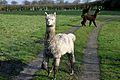 Llama in Cheshire, UK.jpg