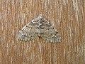 Lobophora halterata FvL.JPG