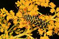Locust Borer - Megacyllene robineae, Letchworth State Park, Mt. Morris, New York.jpg