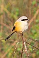 Long Tailed Shrike or rufous-backed shrike (Lanius schach) (cropped).jpg