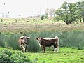 Longhorn cattle grazing marsh pasture - geograph.org.uk - 1520789.jpg