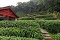 Longjing Tea field, Dragon Well area, Meijiawu China.jpg
