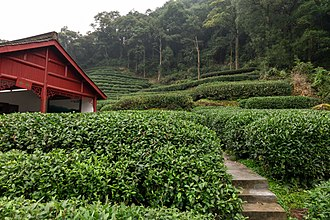 Longjing tea - Meijiawu Village, longjing tea field at Dragon Well Tea Plantation