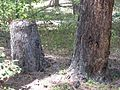 Lost Creek Lake living stump.jpg