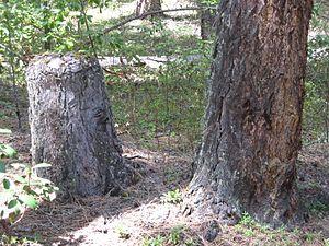 Living stump - Living stump near Lost Creek Lake in Southern Oregon