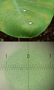 Lotus effect wikipedia water droplets on taro leaf with lotus effect upper and taro leaf surface magnified 01 is one millimetre span showing a number of small protrusions mightylinksfo
