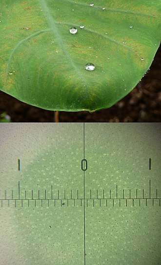 Lotus effect - Water droplets on taro leaf with lotus effect (upper), and taro leaf surface magnified (0–1 is one millimetre span) showing a number of small protrusions (lower).