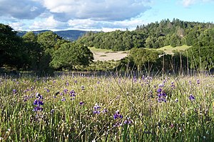 Trione-Annadel State Park - Lupines in a meadow, Annadel State Park