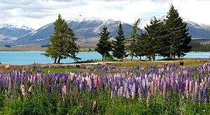 Lake Tekapo - Lupins on Lake Tekapo
