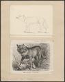 Lupus orientalis - 1700-1880 - Print - Iconographia Zoologica - Special Collections University of Amsterdam - UBA01 IZ22200353.tif