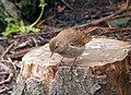Luscinia luscinia Hartlepool 2.jpg