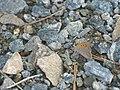 Lycaena phlaeas - Small copper - Червонец пятнистый (40301936704).jpg