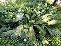 Lysichitum americanum - Botanischer Garten, Frankfurt am Main - DSC02527.JPG