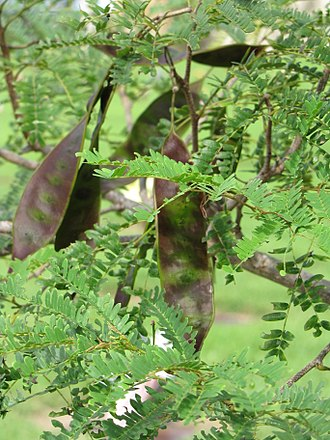 Lysiloma - Lysiloma latisiliquum leaves and seedpods