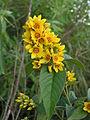 Lysimachia vulgaris (flowers) 1.jpg