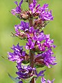 Lythrum salicaria (detail).jpg