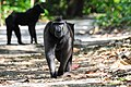 Macaca Nigra.jpg