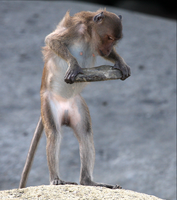 Macaca fascicularis aurea using a stone tool - journal.pone.0072872.g002c.png