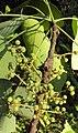 Macaranga peltata 15.JPG