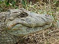 Macho adulto de Caiman latirostris.jpg