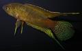 Macropodus ocellatus.png