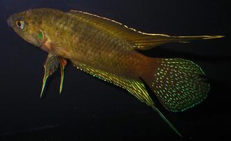 Round-tailed paradise fish - Immature male