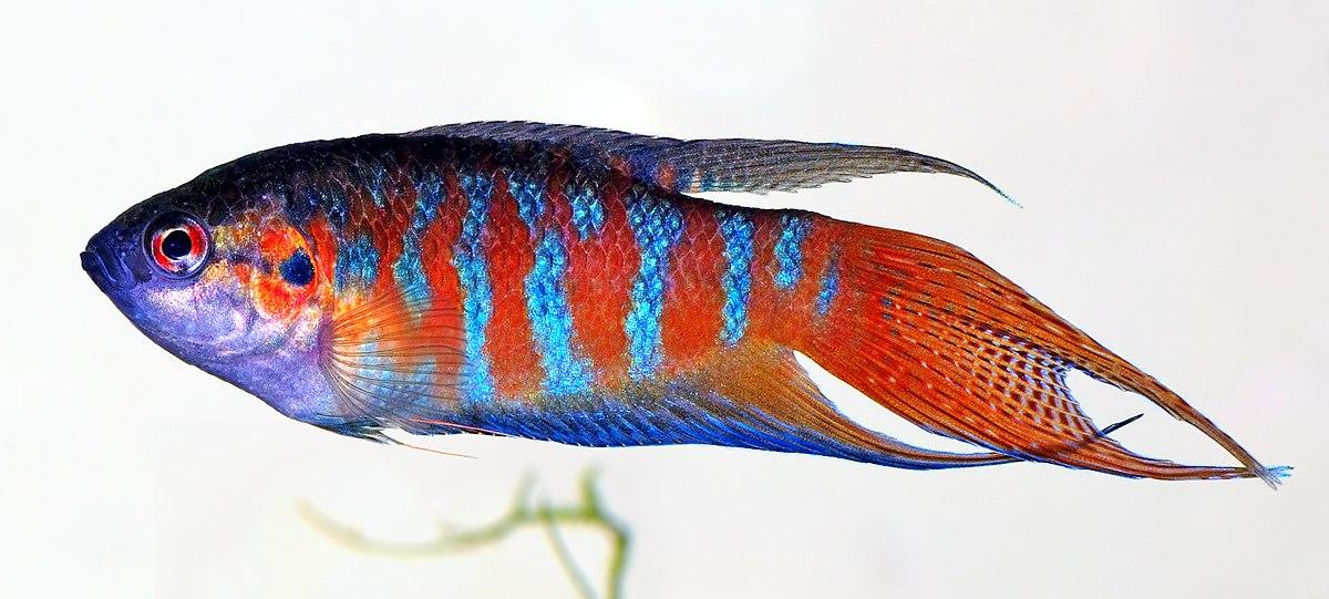 Pesce wikipedia - Pagina di colorazione del pesce ...