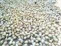 Madhuca longifolia of Odisha.jpg