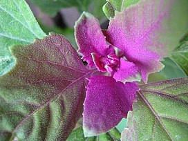 MagentaSpreen Chenopodium giganteum close-up EdibleOffice.jpg