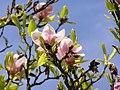 Magnolia soulangeana MdE 2.jpg