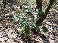 Mahonia aquifolium 2019-03-30 8413.jpg