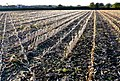 Maize Field, Foys, Chetnole, Dorset - geograph.org.uk - 1009075.jpg