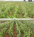 Maize on acid soil 1&2 weed effect.jpg