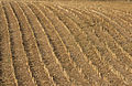 Maize stubs 04.jpg