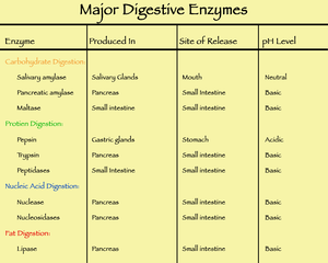 Major digestive enzymes