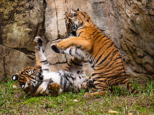 Fort Worth Zoo - Malayan tiger cubs playing