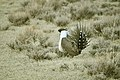 Male Greater Sage-Grouse (6948092720).jpg