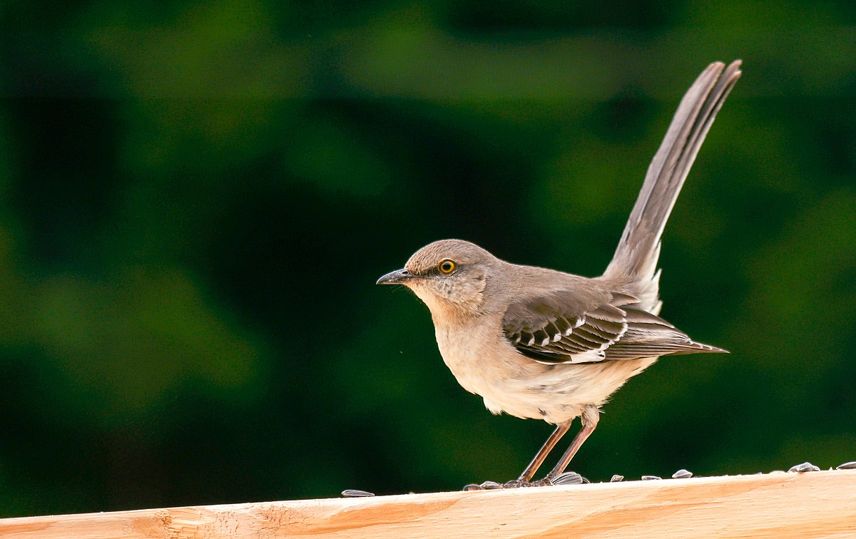 File:Male Northern Mockingbird.jpg - Wikimedia Commons