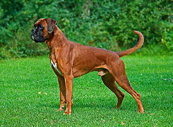 Male fawn Boxer undocked.jpg