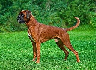 Boxer (dog) Dog breed