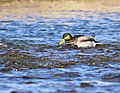 Mallard on Seedskadee National Wildlife Refuge (40474338064).jpg