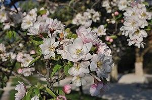 Malus spectabilis - Malus spectabilis flowering in the Jardin des Plantes, Paris.